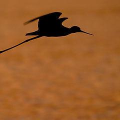 """фото """"Black-winged stilt III"""""""