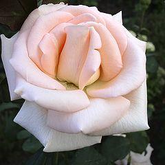 """фото """"Благоуханье роз и лепестков прикосновенье"""""""