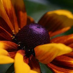 "фото ""Orange camomile"""