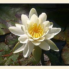 "фото ""Gorgeous lily"""