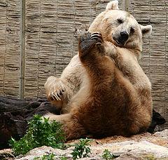 "фото ""Bear exercises"""