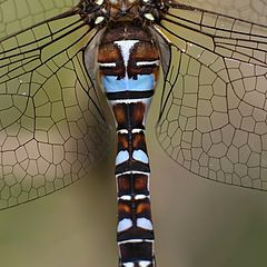"фото ""dragonfly torso"""