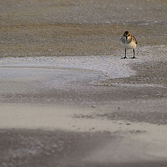 "photo ""A lost sanderling"""