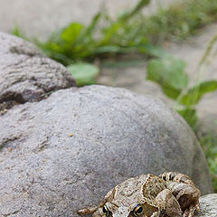 "photo ""Frog on the stones"""