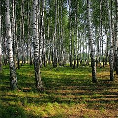 "photo ""Russian birches"""