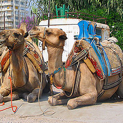 """photo """"Camels"""""""