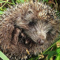 "photo ""The hedgehog."""