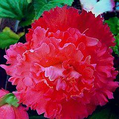 """фото """"Begonia """"PInk Petticoat"""""""""""