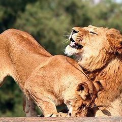 """фото """"Lions games"""""""