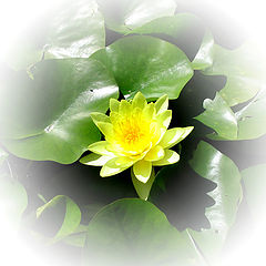 "photo ""Water-Lily"""