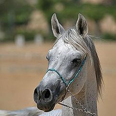 """photo """"Arabian Horse 1"""""""