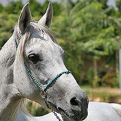 """photo """"Arabian Horse 2"""""""