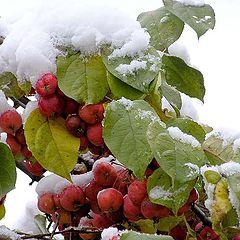 """фото """"яблоки на снегу"""""""