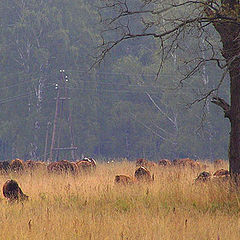 "photo ""Morning landscape with cows."""