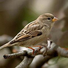 """фото """"Sparrow"""""""