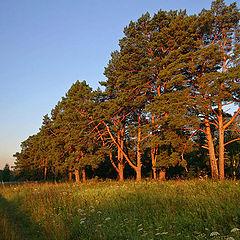 "photo ""Pines in morning beams"""