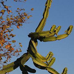 "фото ""Curly Cactus"""