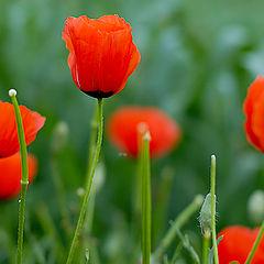 "photo ""Poppy Flowers"""