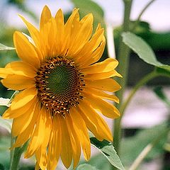 "photo ""Sunflower"""