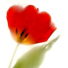 """photo """"Tulip"""""""