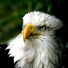 """фото """"American Eagle"""""""