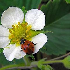 """photo """"Strawberry blossom"""""""