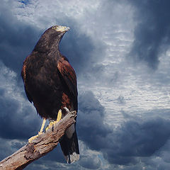 "photo ""Harris Hawk"""