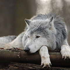 """photo """"Timber wolf ... relaxed :-)"""""""