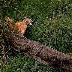 """фото """"Puma!"""""""