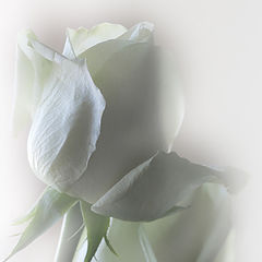 "photo ""Gosling-green roses"""