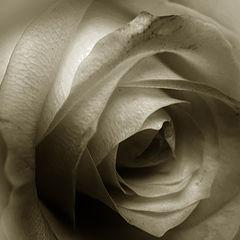 "фото ""the rose"""