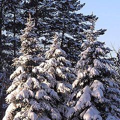 """фото """"Снег на деревьях"""""""