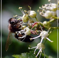 """фото """"Пчела+нектар=мёд"""""""