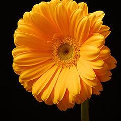 """фото """"Daisy"""""""