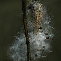 "фото ""Milkweed"""