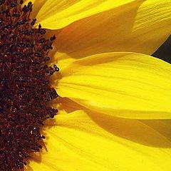 "фото ""Sunflower Half"""