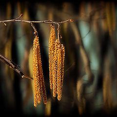 """фото """"Дерево сережки одело.."""""""