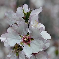 "photo ""Almond-tree"""