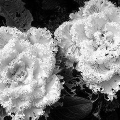 """photo """"Brassica oleracea var. acephala"""""""