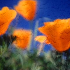 "фото ""Impressions - California Poppies"""