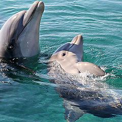 "фото ""05793.b Baby dolphin with mam"""