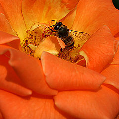 "фото ""The Rose and the Bee"""