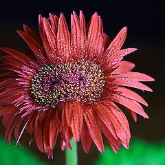 "photo ""twin flower"""