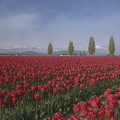 """фото """"Tulip Field"""""""