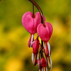 "фото ""Bleeding Hearts"""