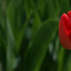 """фото """"тюльпан"""""""
