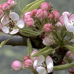 "фото ""Цветет дикая груша"""
