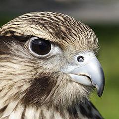 """photo """"Saker Falcon"""""""