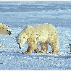 "фото ""Polar Trio"""