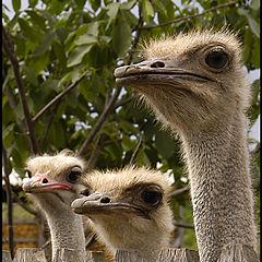 "фото ""Three Gossips at the Fence"""